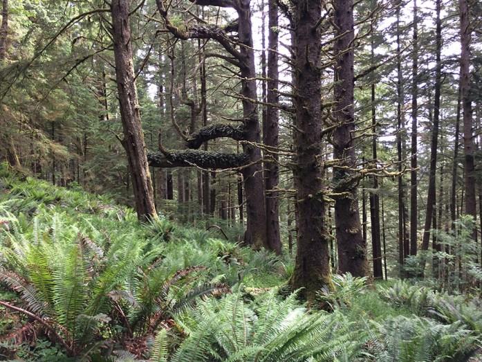 Picéas de Sitka - Parque natural en la costa de Oregon