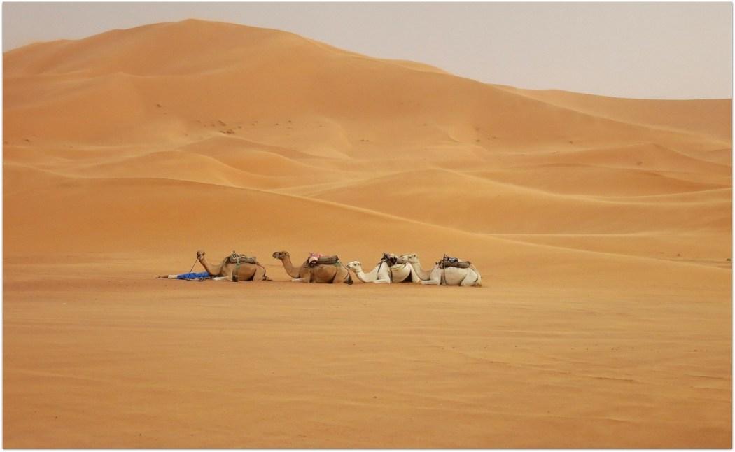 Camellos sahara