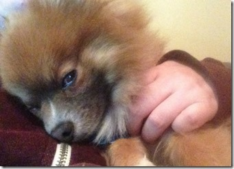 sleepy-pomeranian