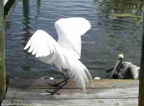 egret & pelicans