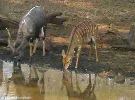 Nyala buck & doe