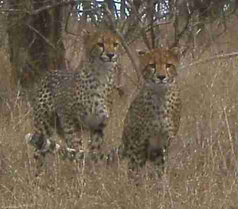 young cheetahs in Zululand