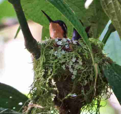hummy in nest (2)