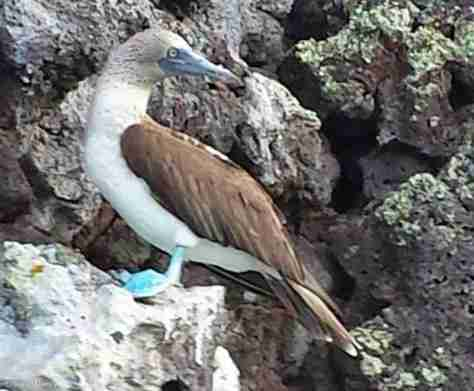 FEMALE BLUEFOOTED BOOBY