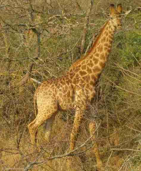 giraffe (1) (1055x1280)