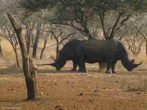 w rhino (3) (1280x960)