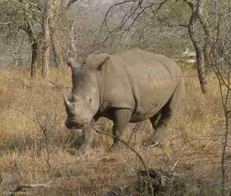 w rhino (6) (1280x1085)