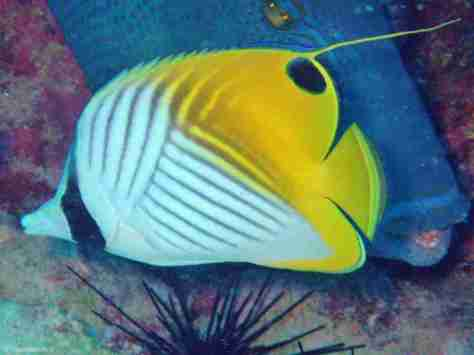 Threadfin Butterfly fish (1280x958)