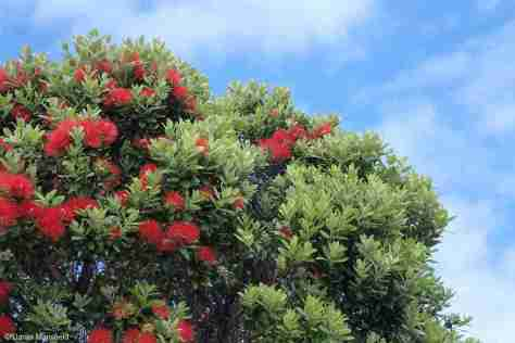 WAIHEKE ISLAND - POHUTUKAWA TREE (often called NZ Christmas tree)