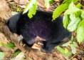 Borneo Sun Bears at Sepilok