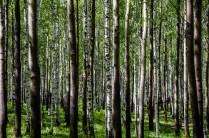 Da sieht man den Wald vor lauter Birken nicht
