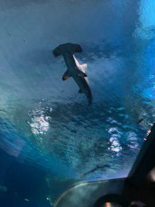 zoo: hammerhead shark