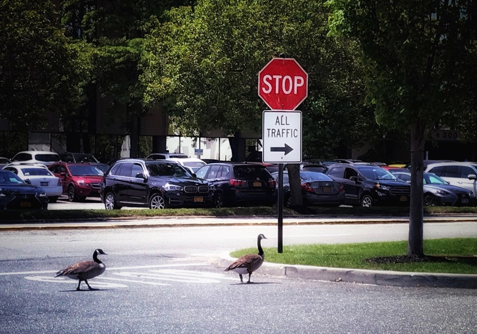 """We're walkin' here!"" Roosevelt Field, Garden City, NY. Photo by Rick Stachura. June 4, 2019."