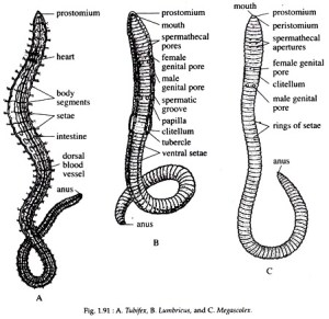Phylum Annelida: Features and Classification | Worms