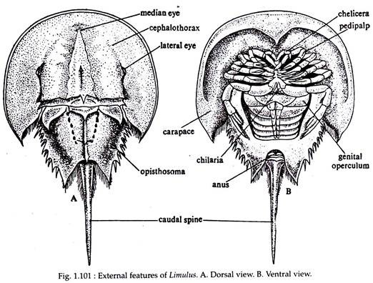 Labelled Diagram Of Horseshoe Crab Download Wiring Diagrams