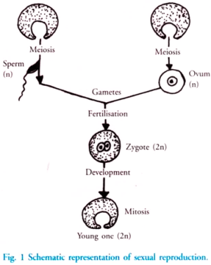 Reproduction in Animals: Asexual and Sexual (With Diagram