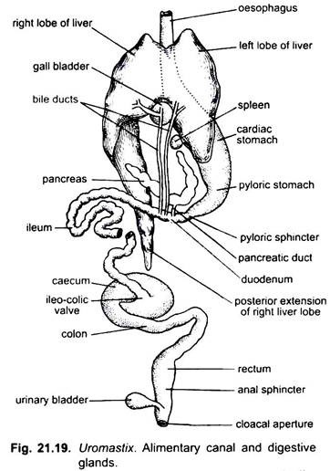 Digestive System of Uromastix (With Diagram)   Chordata ...