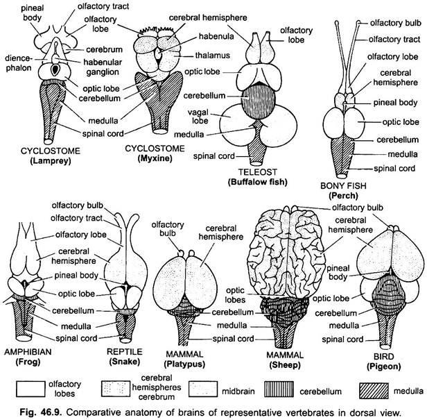 Anatomy of Nervous System in Vertebrates (With Diagram ...