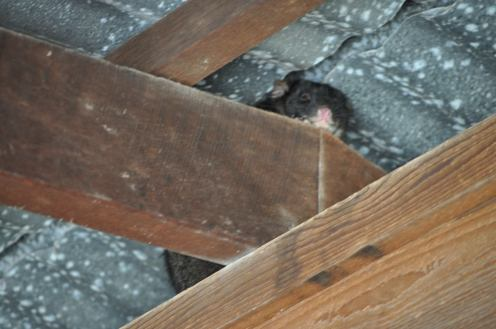 Possum in the roof of the car shed