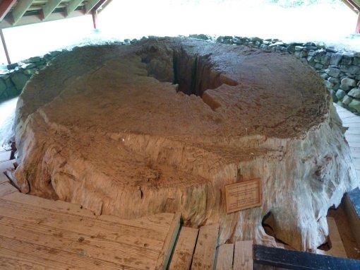 Kauri tree used to make Maori boat