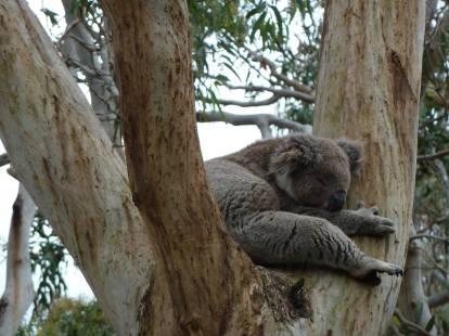 Koala just chillin