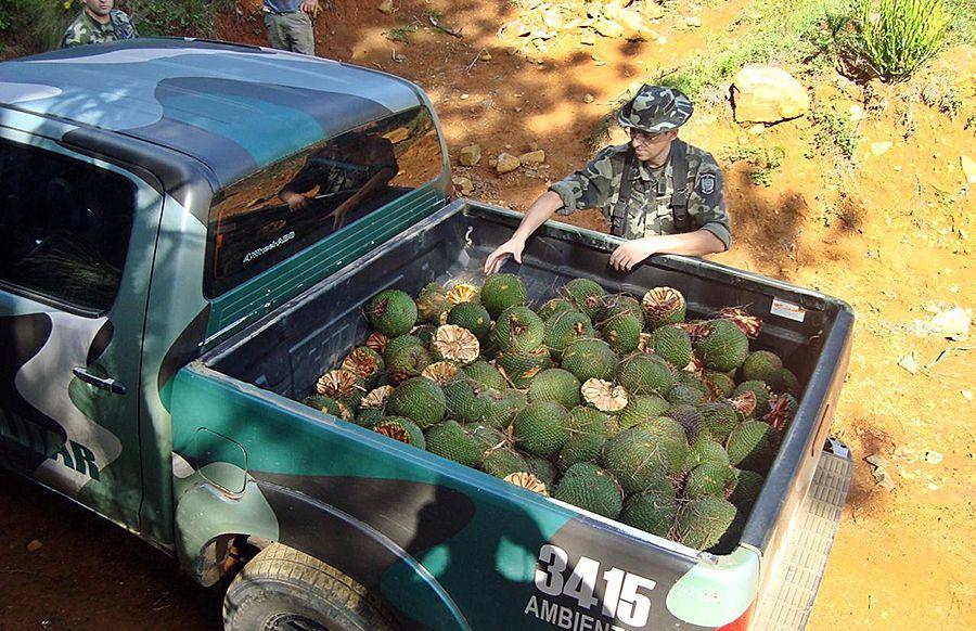 Colheita e comercialização do pinhão só apartir do dia 1º Índio véio