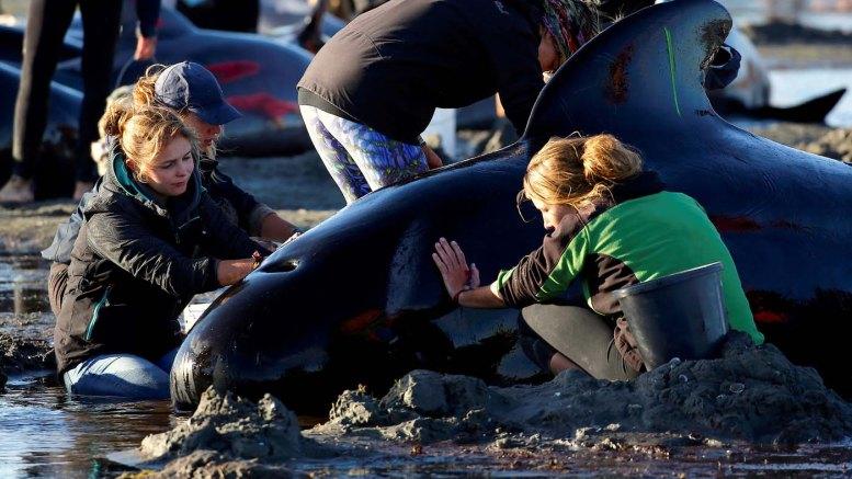 Encallan Otras 200 Ballenas En Nueva Zelanda Pese A Esfuerzos De Voluntarios