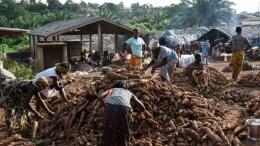 Preocupación por el virus de la yuca en África Occidental