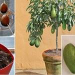 Incrível! Veja como crescer uma árvore de abacate em um pequeno pote em casa
