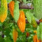 Melão-de-são-caetano: Planta mata até 98% de células cancerígenas, e é também útil contra várias doenças: