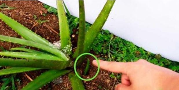 Por que todos devem ter uma planta dessas em casa