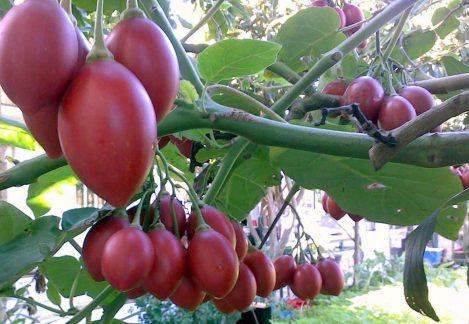 100-sementes-de-tamarillo-tomate-de-arvore-italiano-D_NQ_NP_954121-MLB20724892917_052016-F