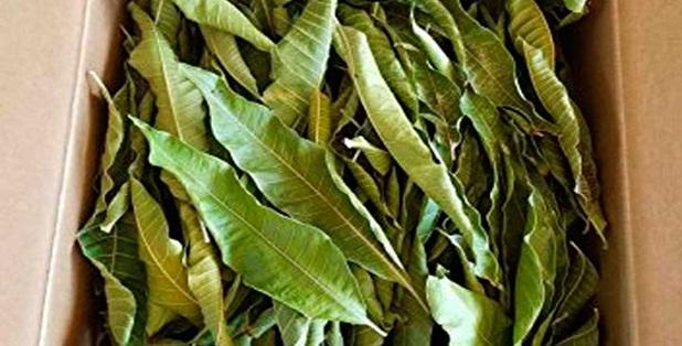 Os benefícios ocultos das folhas que podem remover diabetes como magia.
