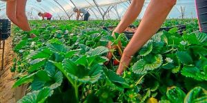 50 empleos recogida de frutos en Huelva