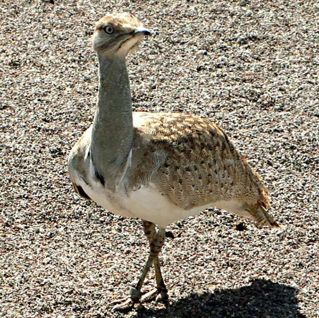 Animales en peligro de extinción: Hubara Canaria