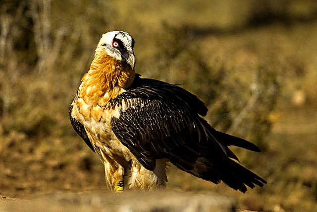 Animales en peligro de extinción: Quebrantahuesos