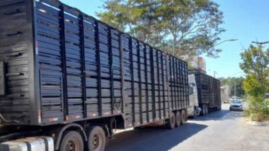 Photo of Polícia recupera caminhões roubados que estavam a caminho de Guanambi; mais de 100 cabeças de gado estavam nos veículos