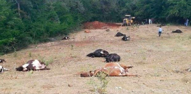 Vacas-muertas