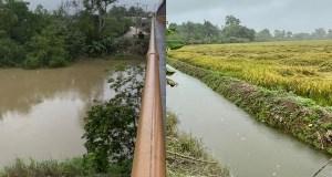lluvias-retrasan-corte-de-arroz-en-villa-riva-productores-sienten-temor
