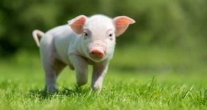 autoridades-prohiben-comer-carne-de-cerdo-en-zona-fronteriza