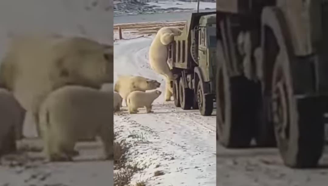 Video: Hambrientos osos polares buscan comida en camión de basura
