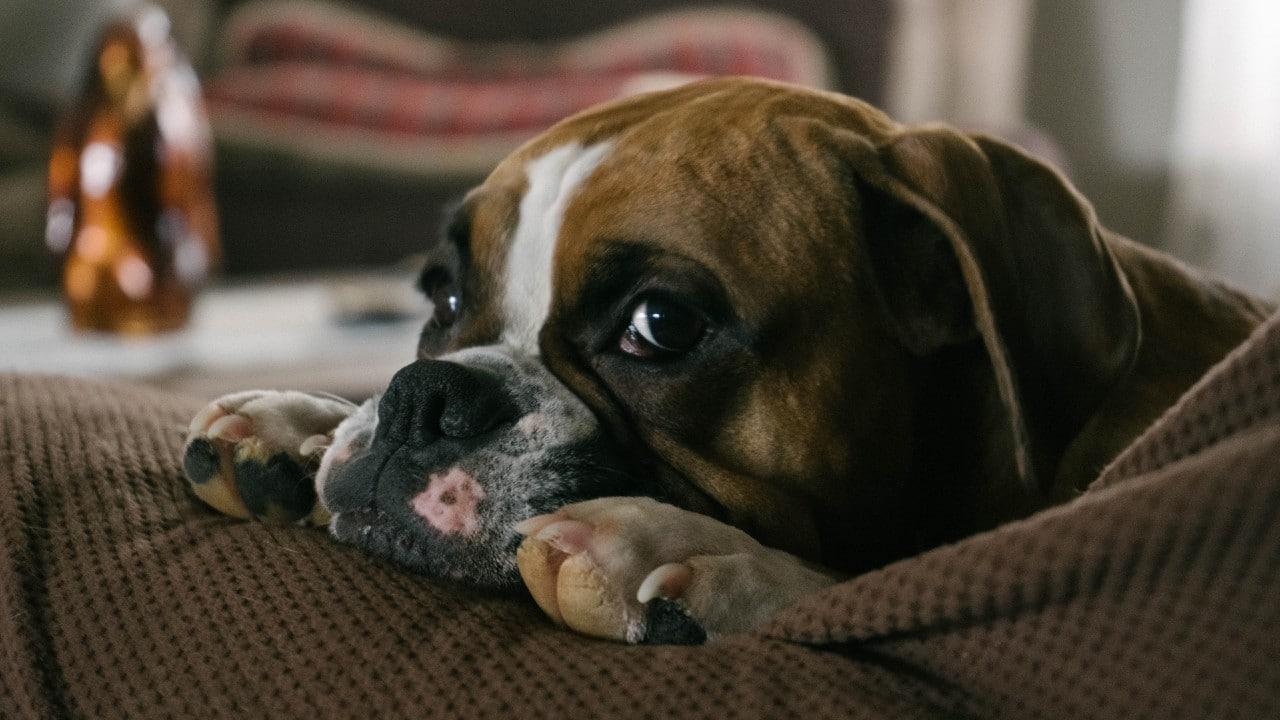 Te contamos por qué el bulldog es el perro más caro