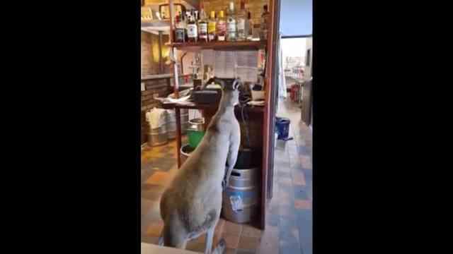 Este canguro entra todos los días a un bar en Australia
