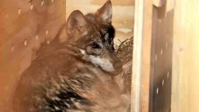Tres ejemplares de lobo mexicano llegan al zoológico de Tlaxcala