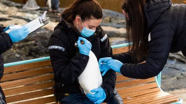 pingüino, vacuna, gripe aviar, Facebook, Noruega