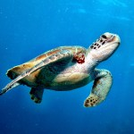 A sea turtle swimming on the Great Barrier Reef