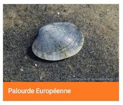 Palourde européenne
