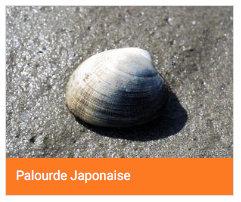 Palourde japonaise