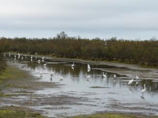 Aigrettes dans le marais