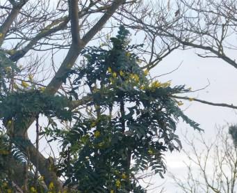 Mimosas 30 décembre